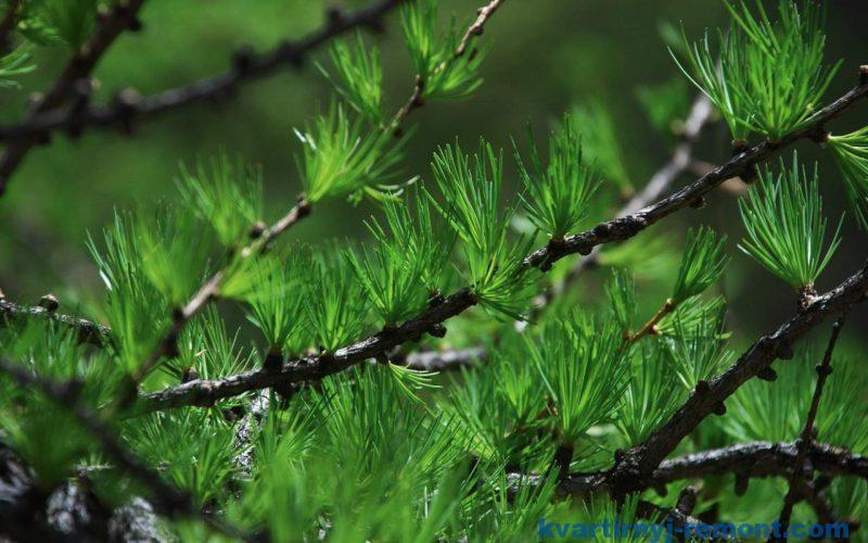 Лиственницу считают перспективным деревом для строительства