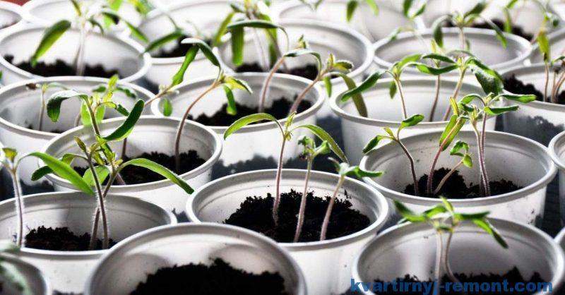 Выращиваем рассаду помидоров