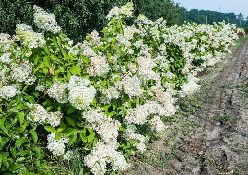 Грандифлора (Grandiflora)