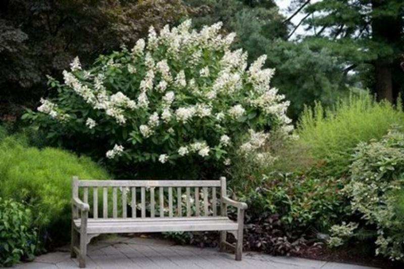 Гортензия за садовой скамейкой